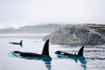 PEACEFUL ORCA WATERS
