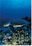 SEA TURTLE REEF (8X10 MATTED)