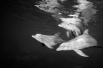 DOLPHIN REFLECTION - Black and White
