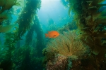 HEALTHY KELP FOREST