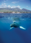 LAHAINA'S HUMPBACK WHALES (5X7 NOTECARD)