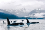 ORCAS NORTHERN WATERS
