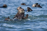 SEA OTTER WAVE