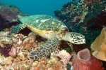 SEA TURTLE REEF II