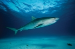 TIGER SHARK SEA
